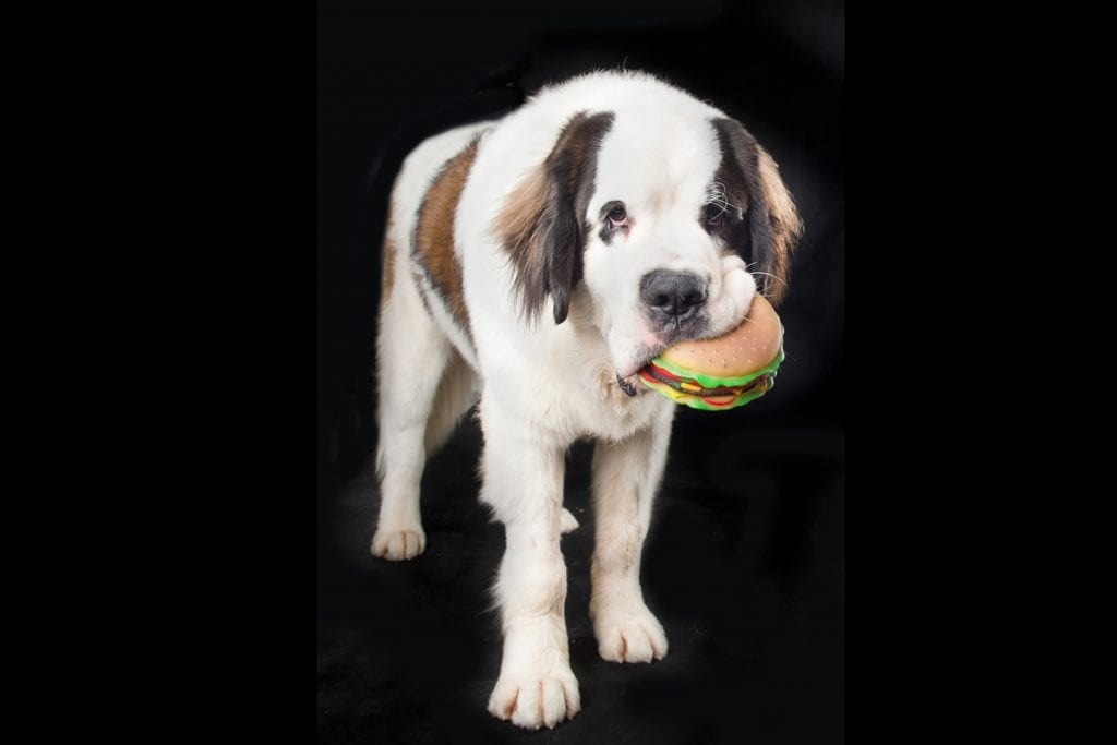Be limited with a squeaky toy to get the attention of a dog in a professional dog session